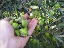 Olive della Sabina