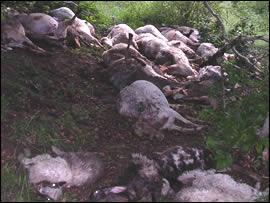 Pecore trovate fulminate sul Terminillo