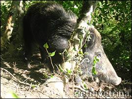 Cinghiale salavato dalla Foresta di Rieti